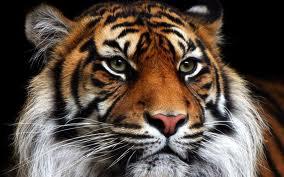 Habia una vez un tigre