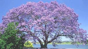 nsw_nr_jacaranda_bg